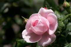 母の日カラー‥ピンクの薔薇