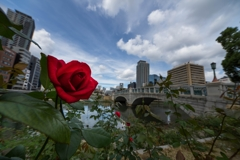 街の彩‥秋薔薇