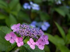 濡れてバリューアップ‥紫陽花