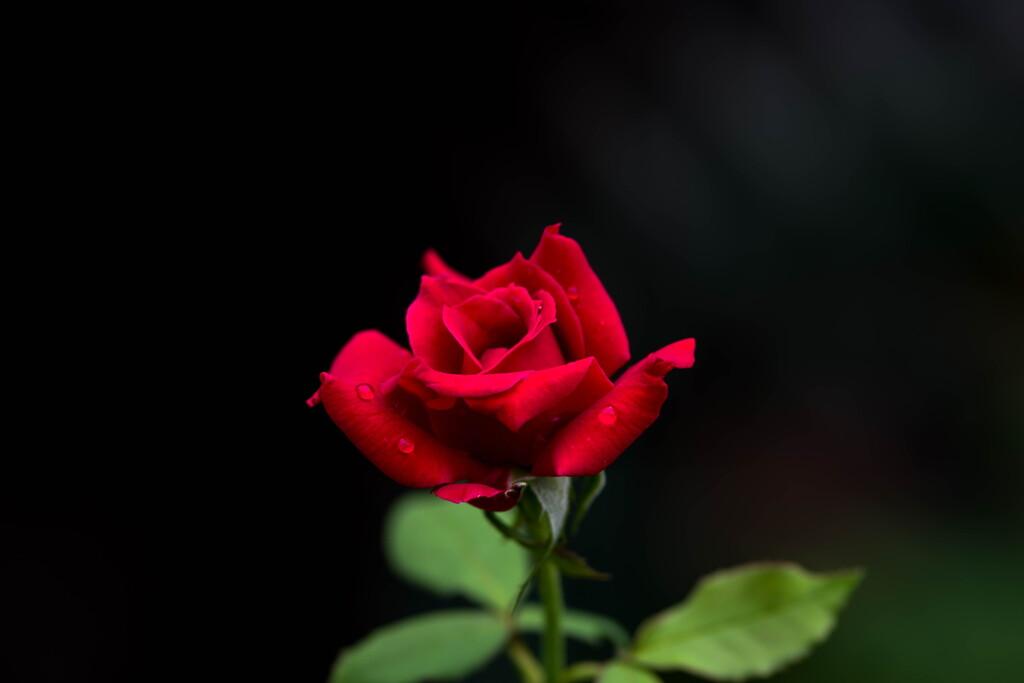 梅雨、まだ明けないね‥赤いバラ
