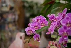 花屋の華‥胡蝶蘭