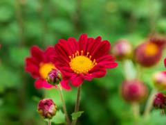 菊も明るい色が良いよね(*^▽^*)b