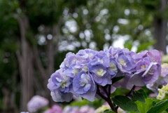 雨の日は‥紫陽花