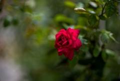 秋一番‥薔薇