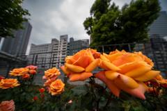 湿気っと曇天‥でも、薔薇満開