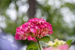 雨がお似合い・・紫陽花