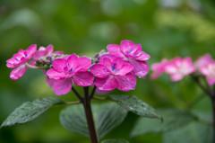 予行演習‥雨の紫陽花