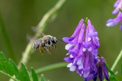 繁忙期‥ミツバチ