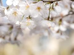 春の陽射しに‥ソメイヨシノ