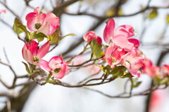 春の陽気に‥ハナミズキ