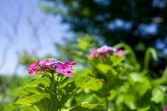夏の日の‥紫陽花