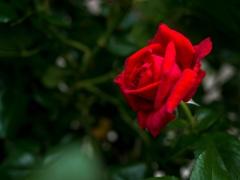 雨にも負けず‥赤いバラ