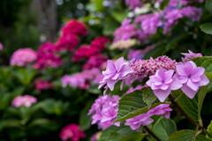 梅雨本番‥紫陽花満開