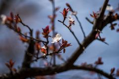 お彼岸桜・・