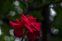 雨の季節の‥赤い薔薇