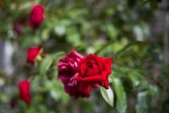 夏と秋の合間に咲く‥薔薇