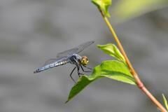 夏の終わりの秋はじめ‥水辺の蜻蛉