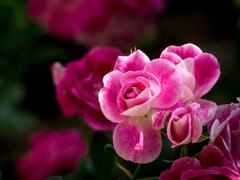 花盛り、薔薇盛り・・