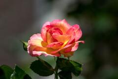 初夏の名残、オレンジの薔薇