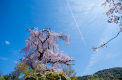 晴空に、枝垂れ舞う花・・京桜 (-^^-)