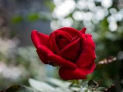 晩夏の主張‥赤い薔薇