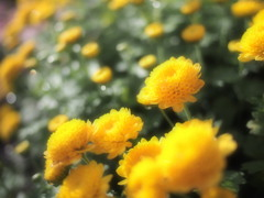 雨上がり・・ふくよかに菊(;^ω^)キラリッ