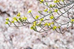 バックは満開の桜‥ハナミズキ