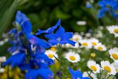 初夏のブルー