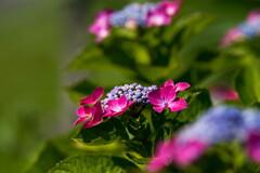 雨が恋しい‥と、紫陽花