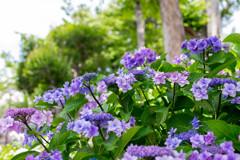 そろそろ最盛‥紫陽花