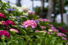 梅雨待ちきれず満開‥紫陽花