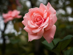 彼岸になれば、薔薇も咲く・・