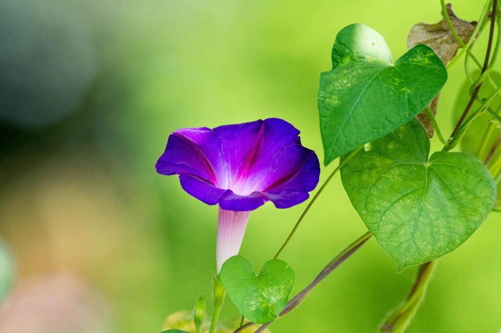 夏の名残花‥アサガオ