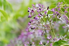 初夏に咲く花‥センダンの花