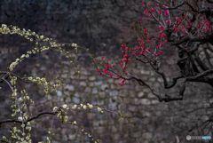 春を呼ぶ・・紅白