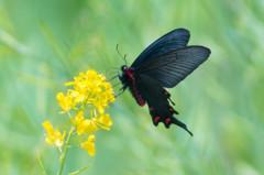 初夏の陽射しに蝶が舞う(-^〇^-)b