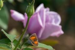 花と蝶‥ウラギンシジミと薔薇の花