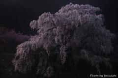 老桜の威厳