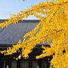 西本願寺の大銀杏-1