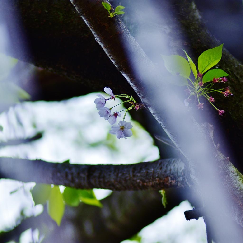 「忘れ桜」