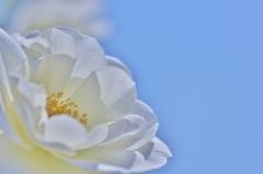 「青空に咲く 白雪姫」