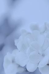 「厳冬の中の白いオキザリス」 ~里々さんへ~