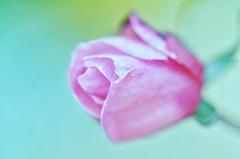 「春に咲く薔薇」
