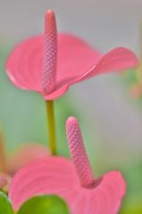 「ピンクのアンスリウム」