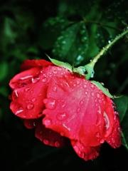「雨に濡れる紅い薔薇」