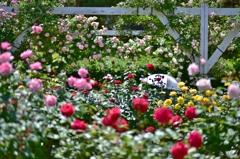 「昼下がりのバラ園」