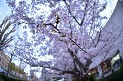 「フィッシュアイで楽しむ桜」
