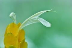 「セージの開花」