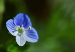 「星の瞳」という名のお花