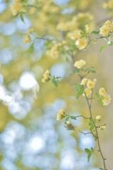 「モッコウバラの季節」